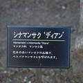 写真: 赤花満作・赤花万作(アカバナマンサク)