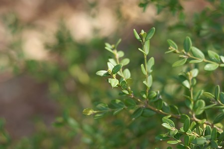 西洋柘植(セイヨウツゲ)