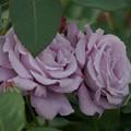 写真: 薔薇 ブルー・ムーン