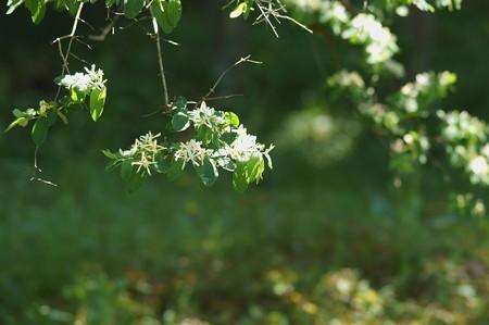 金銀木(キンギンボク)