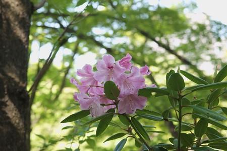 東石楠花(アズマシャクナゲ)