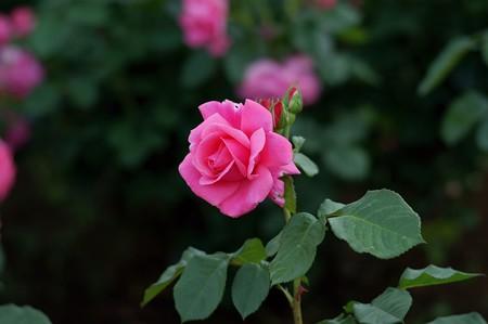 薔薇 マガリ