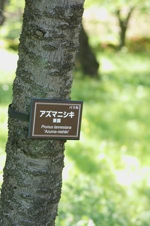 東錦(アズマニシキ)