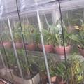 Photos: 温室とハウスの間にセロジネを置く