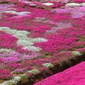 IMG_7206a芝桜の丘1