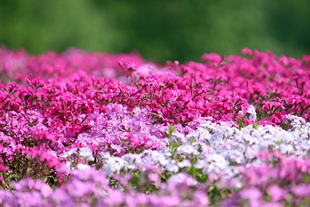 Photos: IMG_7389a芝桜の丘3
