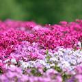 IMG_7389a芝桜の丘3