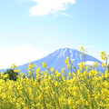 Photos: IMG_7819a菜の花と羊蹄山1