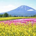IMG_7820a菜の花と羊蹄山3