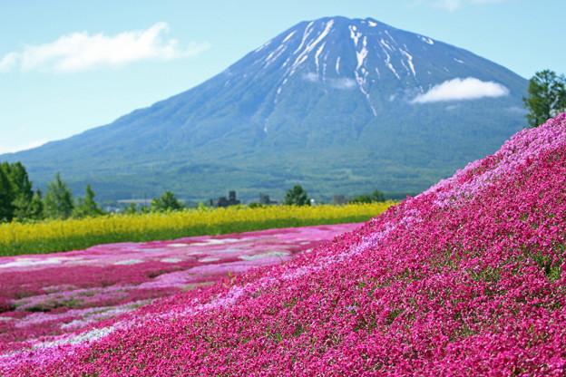 Photos: IMG_7827a芝桜と羊蹄山2