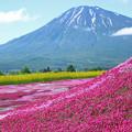 IMG_7827a芝桜と羊蹄山2