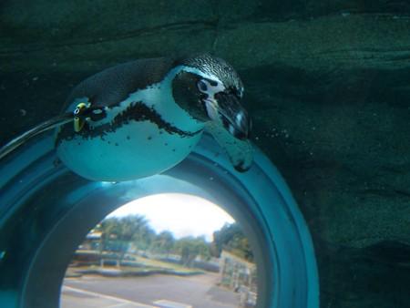 20141205 森きらら ペンギン館06