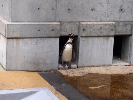 20141205 森きらら ペンギン館38
