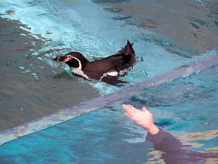 20141205 森きらら ペンギン館50
