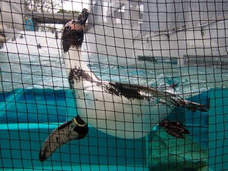 20141205 森きらら ペンギン館76