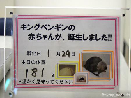 20150201 アドベン キング雛ちゃん04