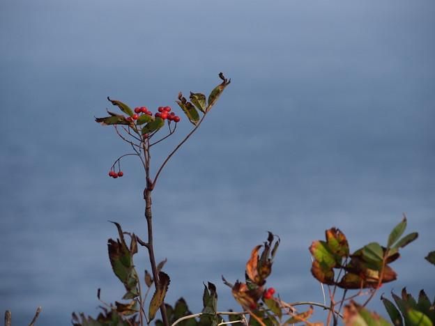 ナナカマド Sorbus commixta
