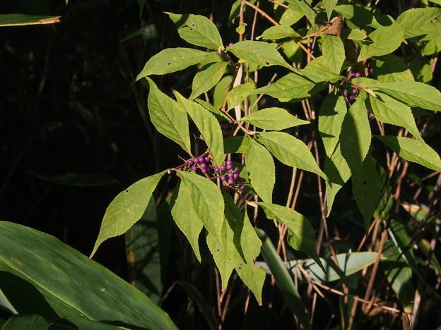ムラサキシキブ Callicarpa japonica