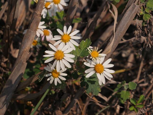 ノジギク Chrysanthemum japonense