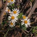 Photos: ノジギク Chrysanthemum japonense