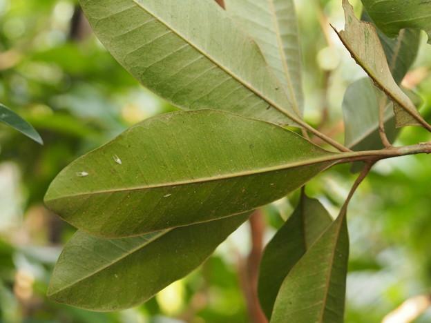 アカテツ Planchonella obovata 葉
