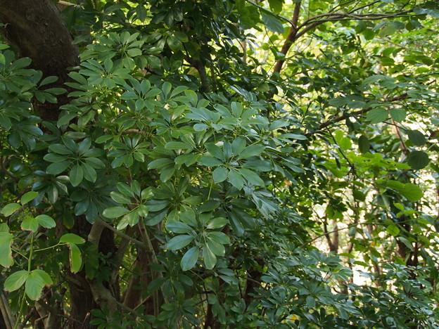 ヤドリフカノキ Schefflera arboricola