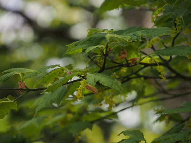ウリハダカエデ(花) P6033194