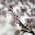 Photos: 桜雨