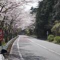 写真: DSC02040箱根ターンパイク桜