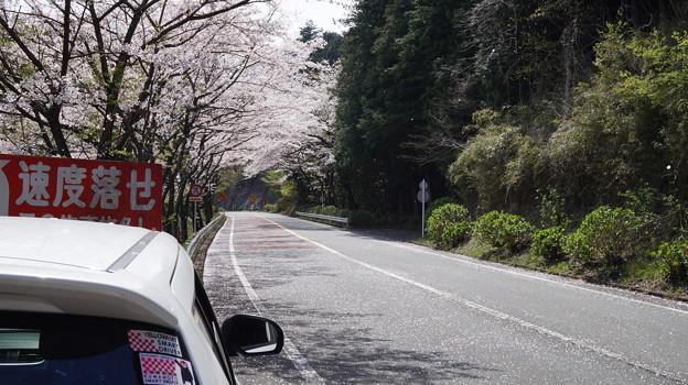 写真: DSC02047箱根ターンパイク桜