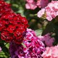 写真: DSC02616新子安公園の花5月
