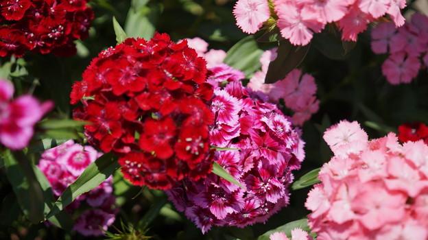 写真: DSC02619新子安公園の花5月