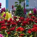 写真: DSC02635新子安公園の花5月