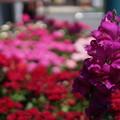 写真: DSC02637新子安公園の花5月