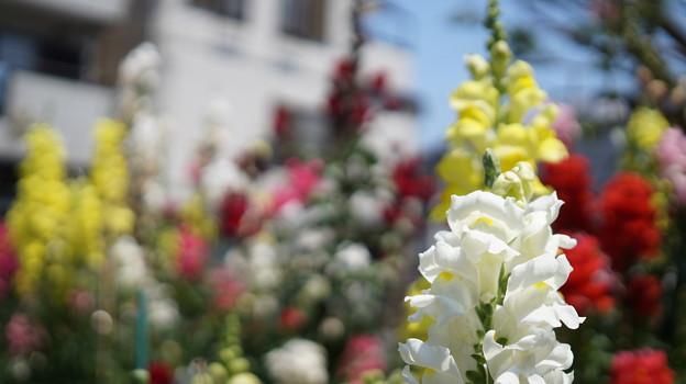 写真: DSC02639新子安公園の花5月
