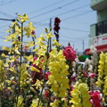 写真: DSC02612新子安公園の花5月