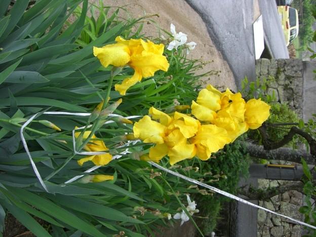公園の花壇に咲いてた