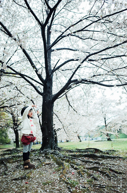 櫻花樹下的小小攝影師