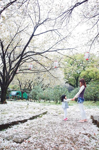 櫻花樹下的旋舞