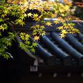 Photos: 輝く紅葉