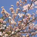2254 青空と車折神社の桜@京都