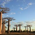 写真: 2260 早朝のバオバブの並木道@マダガスカル