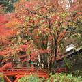 写真: 2380 横蔵寺の筆柿と紅葉@岐阜