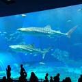 Photos: ジンベイザメでかい。