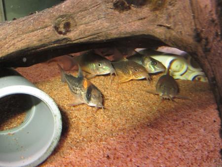 20141210 60cmコリドラス水槽のコリドラス達