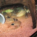 Photos: 20150121 60cmコリドラス水槽のコリドラス達