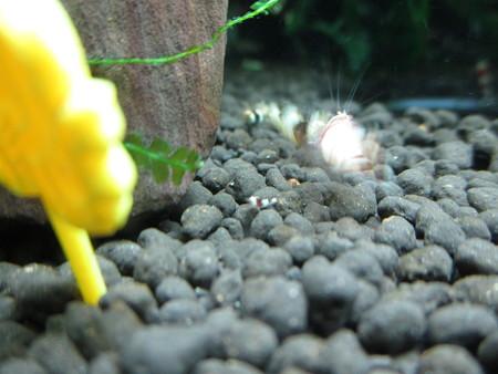 20150122 60cmエビ水槽の稚エビ