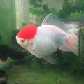 20170426 60Cmベランダ水槽のMIX金魚