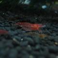 Photos: 20091211 41cm水槽のチェリーさん達