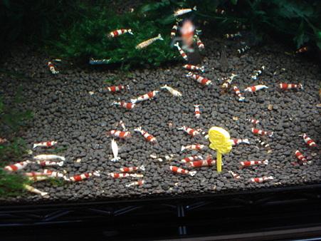 20091226 60cmエビ水槽のスピルリナの喰い付き